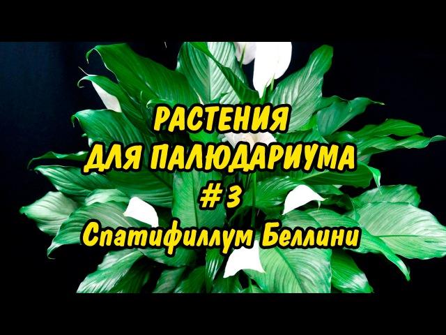РАСТЕНИЯ ДЛЯ ПАЛЮДАРИУМА. 3. Спатифиллум Беллини. PLANTS FOR PALUDARIUM. Spathiphyllum bellini