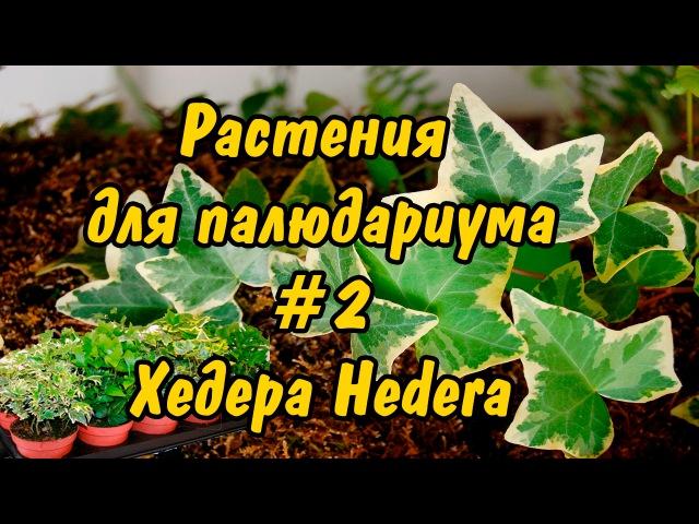 РАСТЕНИЯ ДЛЯ ПАЛЮДАРИУМА. 2. Хедера Плющ. PLANTS FOR PALUDARIUM. Hedera Helix