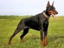 Doberman Attacks Video : Most Dangerous Security Dog - YouTube