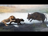 Mother Buffalo Dies Trying To Protect Her Baby From Lion Hunting But Fail