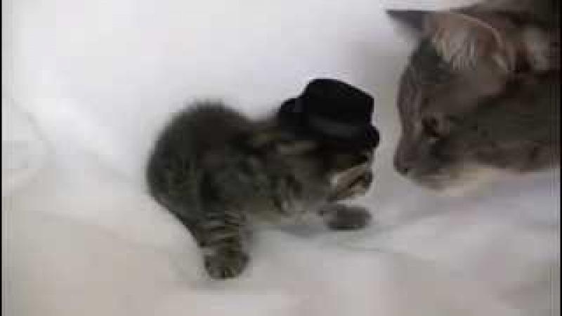 Кот в шляпе, мама кошка чуть не убила. / Cat in the hat, the mother cat is almost killed.
