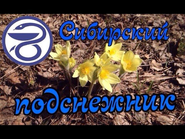 ЛЕКАРСТВЕННЫЕ РАСТЕНИЯ 1/сибирский подснежник или сон-трава