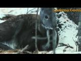 Олень с клыками ⁄ Сибирская КАБАРГА