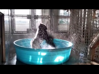 Gorilla dancing to Maniac