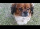 Австралия. История из жизни нашего песика Боу хозяйка-самоубийца, искалеченное животное...