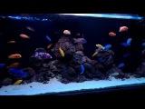 Малавийские цихлиды. cichlids tank. malawi aquarium. lava rock design 2016