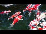 Япония, префектура Ниигата. Знаменитые зарубежом парчовые карпы.