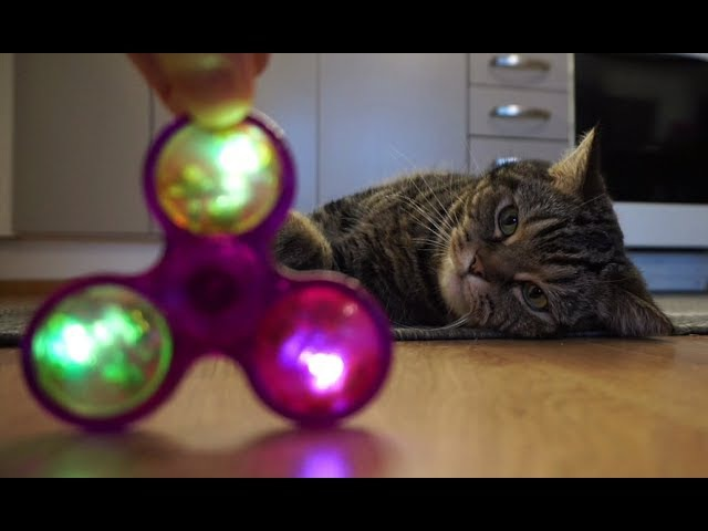 Реакция кота на спиннер; Cat's reaction to a fidget spinner