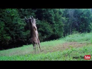 В США засняли дуэль белохвостых оленей