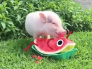 litle pig