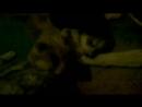 собачьи бои