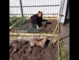 Говорят, в России медведи по дорогам ходят. Да, прям, некогда им шататься, картошку копают!