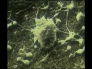 21.Естественная смерть раковой клетки!
