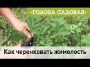Голова садовая Как черенковать жимолость