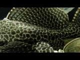 Парчовый птеригоплихт. Pterygoplichthys gibbiceps. (18.12.2016)
