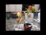 Propagating Cactus - How to take cuttings &amp prune Pereskia