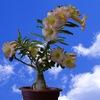 Адениумы -фото, статьи, отправка семян по РФ