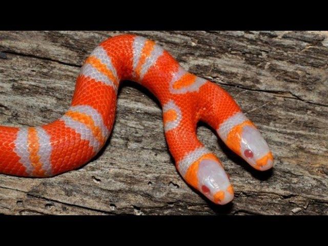 Рождение Двухголовой змеи Нэльсона у Брайана