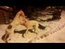 2 декабря 2016 г Пит бульдоги от Хана и Беллы Разборка во время приёма пищи возились 17 минут щенкам 6 5 месяцев