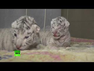 Россия. Любовь и милосердие. Сразу три редких белых тигренка родились в зоопарке в Крыму
