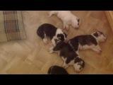 Малыши сибирского хаски. Тихий час. Спят усталые хасята