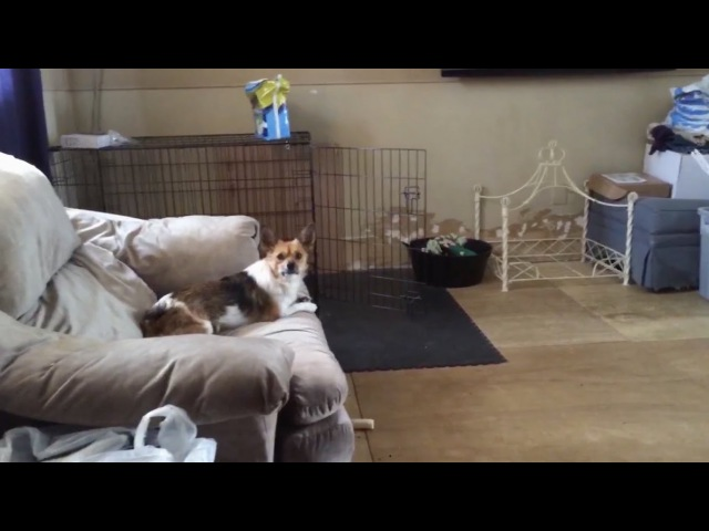 Original Video: Dogs Can't Quite Jump Onto the Couch