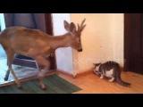 В Новосибирской области, в деревне Катково, олень забрался в дом, чтобы поесть еду кота
