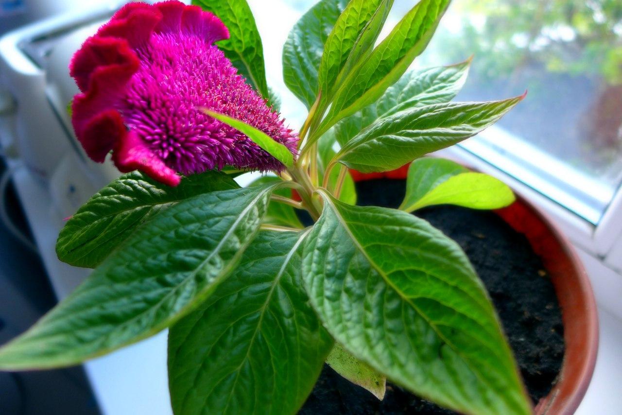 Цветы петушки