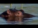 Дикие животные Африки. Нападение бегемотов на людей. Документальный фильм Nation