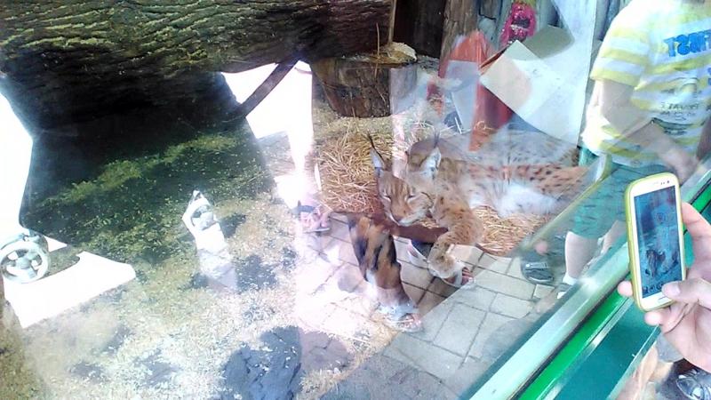 Рысь и кошка в зоопарке Санкт-Петербурга