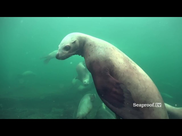 Scuba diving with sea lions at Vivian Island Hornby Island, British Columbia!