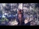 Медведь Ферапонт танцует в Висимском заповеднике
