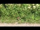 Бесстрашные зайцы на Вижае , Пермский край