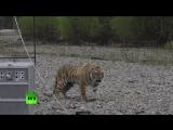 В Приморском крае на волю выпустили тигра по кличке Владик