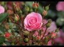 садовый ежедневник. как ничего не забыть при выращивании роз.