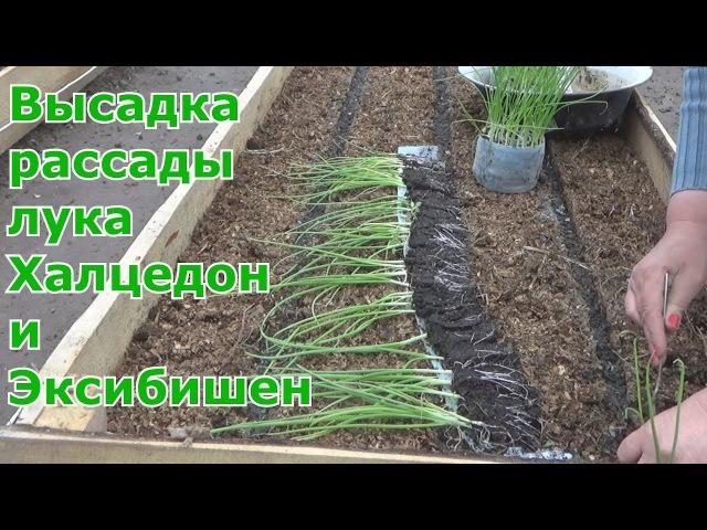 Лук за один сезон через рассаду Высадка в грунт лука Халцедон и Эксибишен