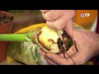Гиппеаструм – пересадка и лечение загнивших луковиц