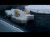 Белые медведиPolar bears