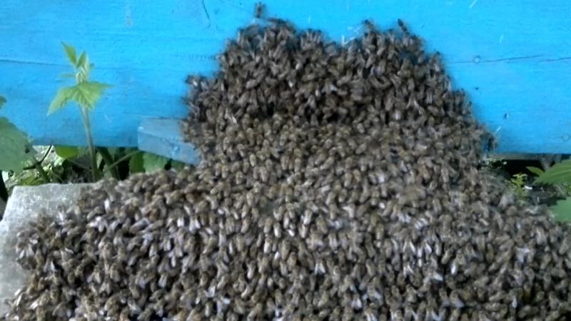 Рій бджіл заходить у вулик!