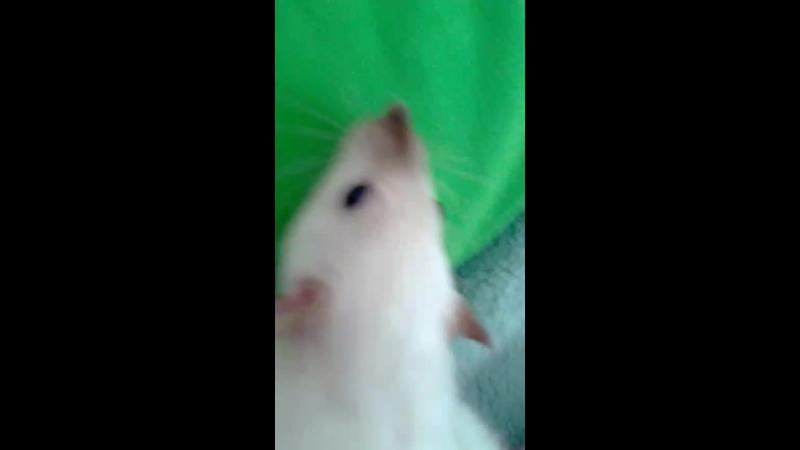 крыса няш🐀
