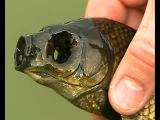 В пруду рыбинского дачника завелся карась-мутант