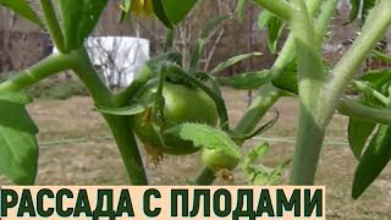 Ранниий урожай помидоров Рассада с плодами часть1