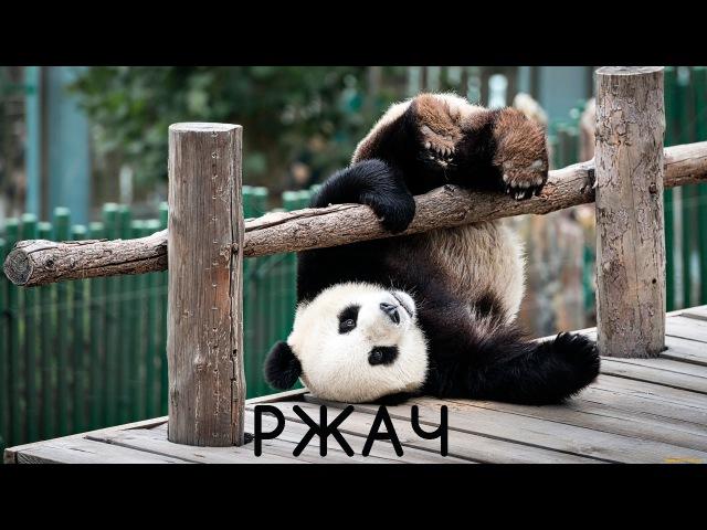 Уборщица (дворник) борется с пандами! РЖАК!