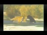 Два тигра пытаются завалить медведя
