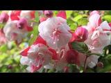 Испанская гитара (АРМИК) и удивительной красоты цветы ФУКСИИ