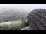 Great White Shark Feeds on Humpback Whale