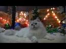 Британский длинношерстный кот на british-chinchilla.dp