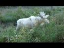 Хансу Нильссону из Швеции повезло заснять лося-альбиноса