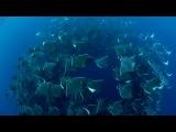 Die grazilen Unterwasser-Flieger k
