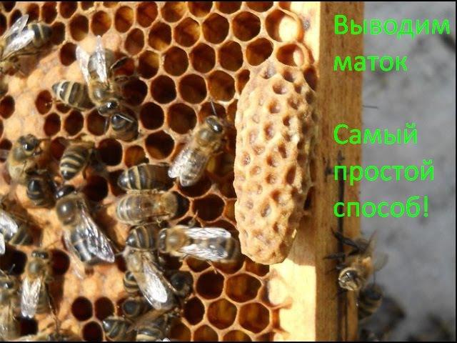 Матка - вывод маток и получение маточников | Разводим пчел